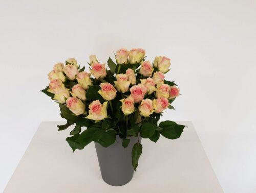 Heleroosa roos 50cm